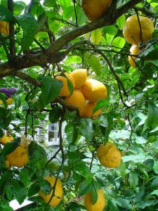 lemon tree (Citrus limon)