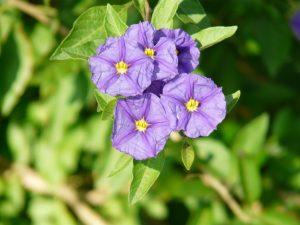 blue potato bush (Lycianthes rantonnetii)