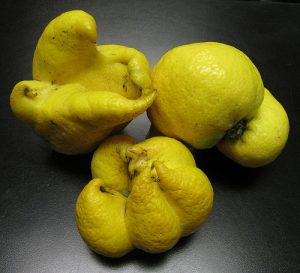 misshapen lemons, caused by mites