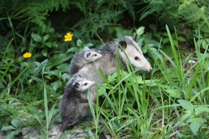 opossums:  mother and babies