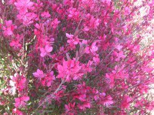 pink gaura (Gaura lindheimeri 'Siskiyou Pink')