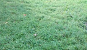 Achillea millefolium 'Rosea' | The Smarter Gardener