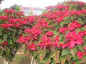 poinsettia hedge (Euphorbia pulcherrima)