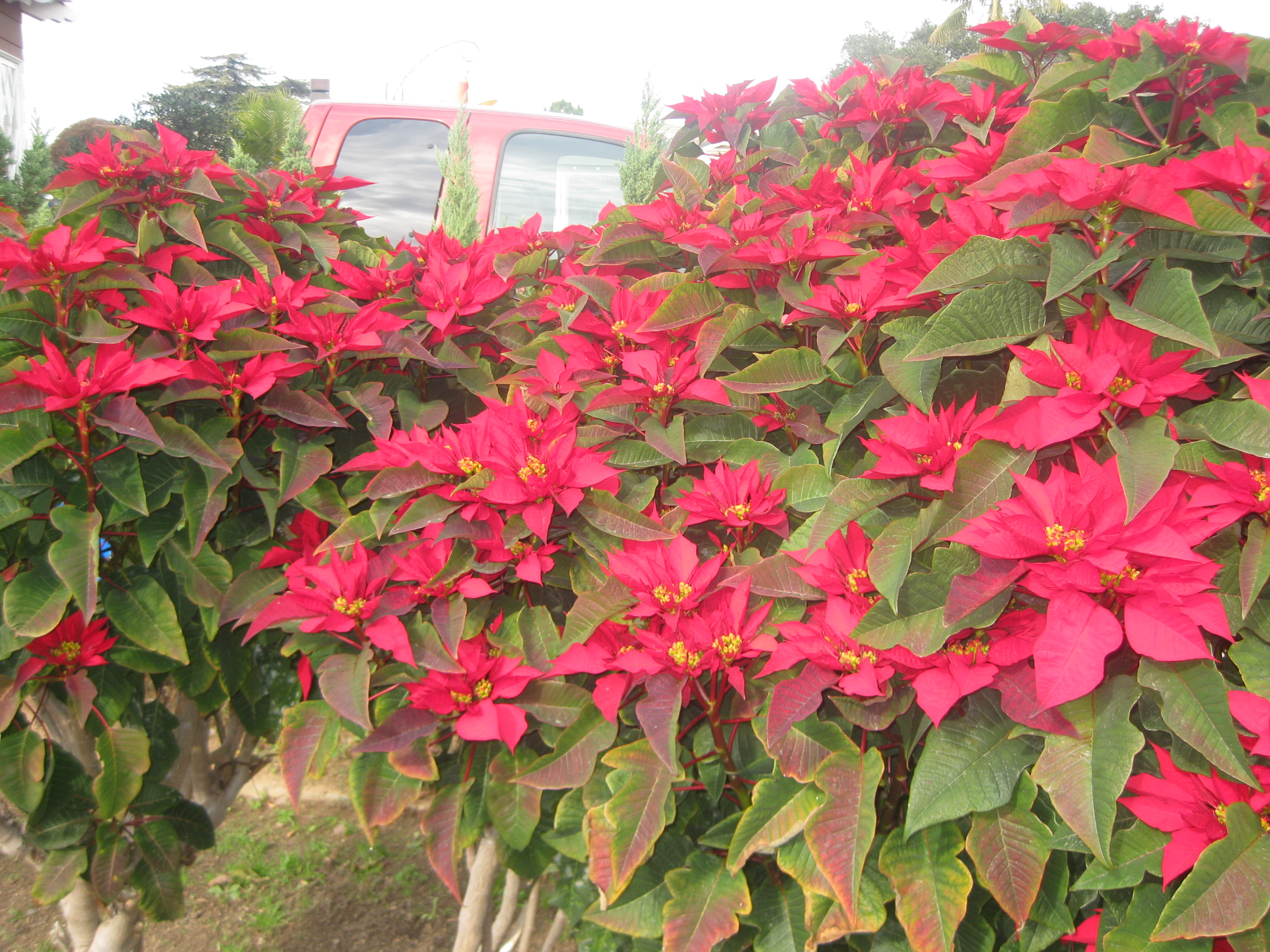 Poinsettia Propagation - Paul Ecke Ranch