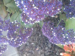 sea lavender / perennial statice (Limonium perezii)