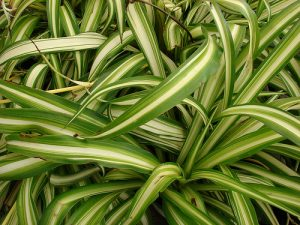 spider plants (Chlorophytum comosum) Photo credit: Starr Environmental / Foter.com / CC BY
