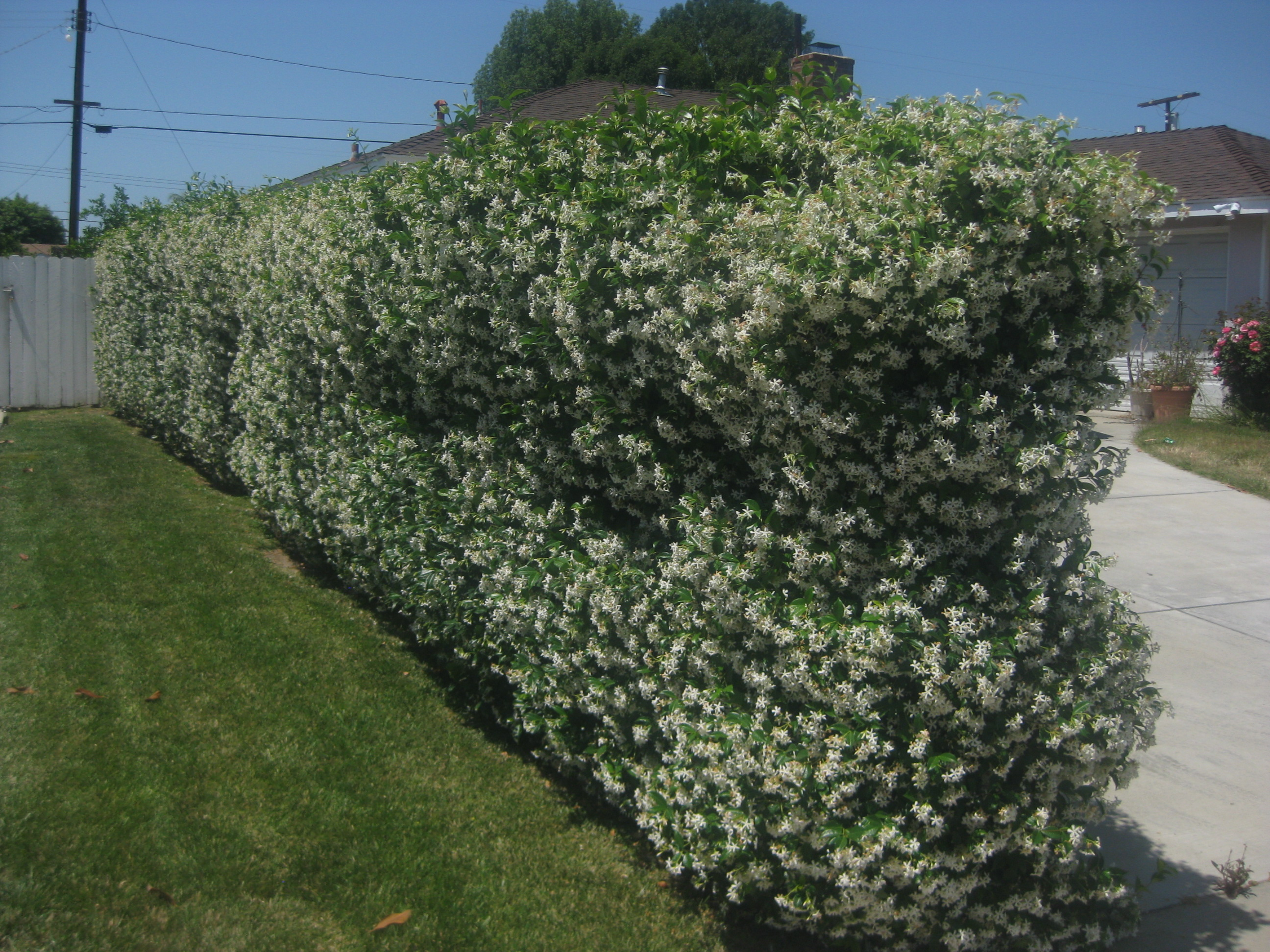 Star Jasmine Tracheloum Jasminoides Hedge Covers Chain Link Fence