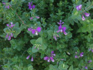 sweet pea shrub (Polygala dalmaisiana)