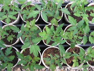 starting seedlings in styrofoam cups the smarter gardener