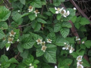 trellised blackberry plants at end of bloom, beginning to set fruit (Rubus sp.)