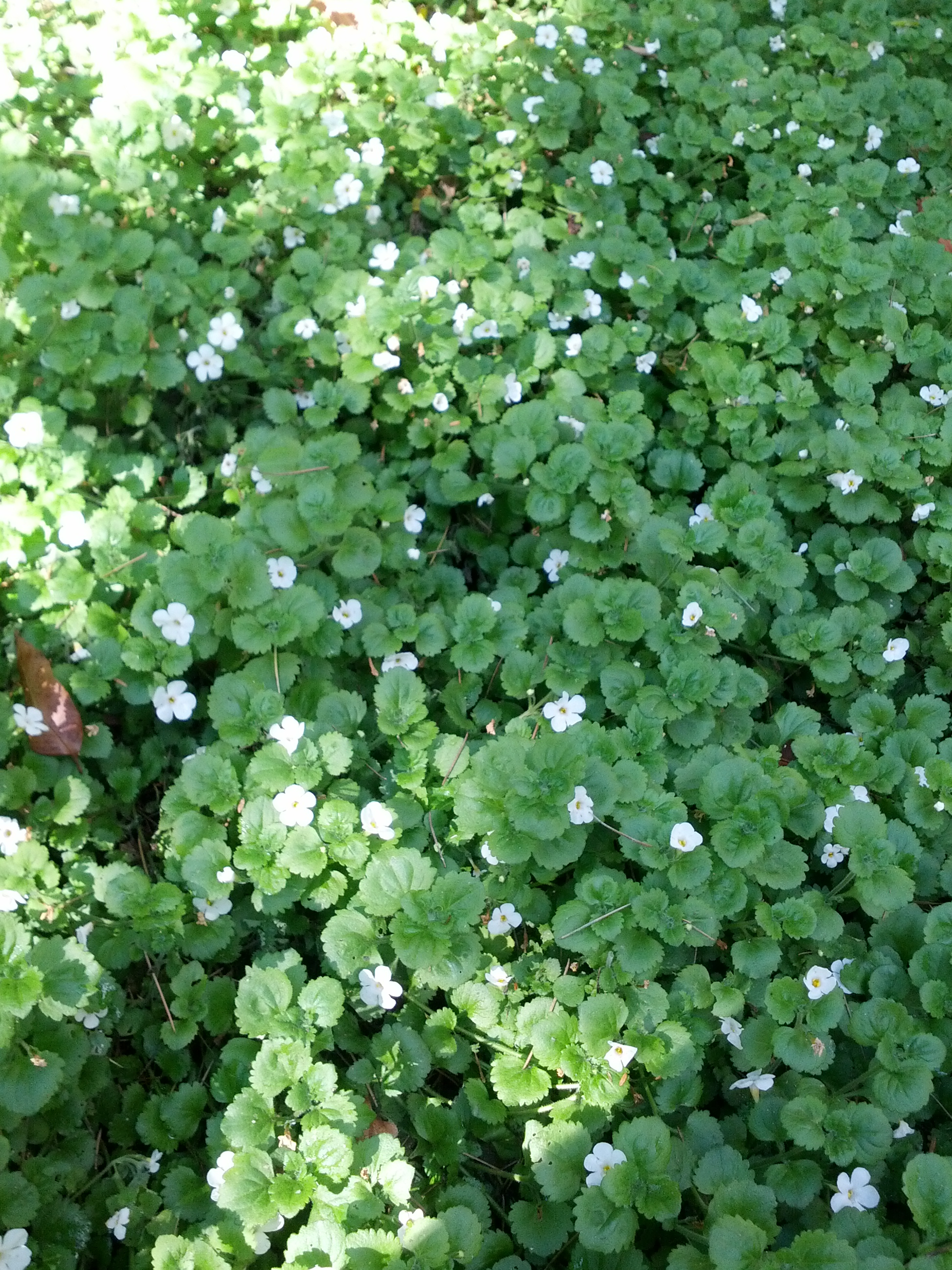 Bacopa The Smarter Gardener