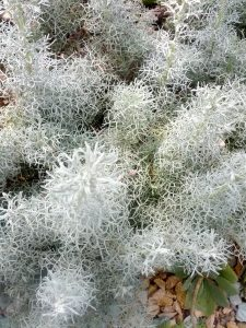 wormwood (Artemisia versicolor 'Sea Foam')