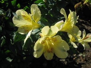 yellow Peruvian lily (Alstroemeria 'Crown Yellow')