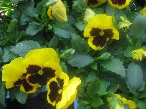 yellow 'Giant' pansies