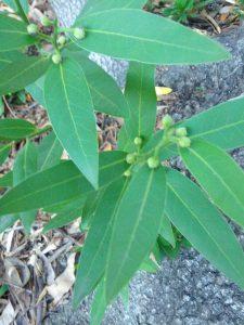 California bay (Umbellularia californica)