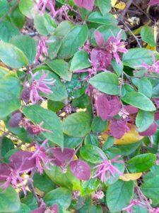 Chinese fringe flower (Loropetalum chinense 'Sizzling Pink')