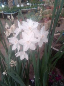 Narcissus 'Paper White'
