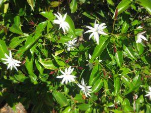 angel wing jasmine (Jasminum nitidum)