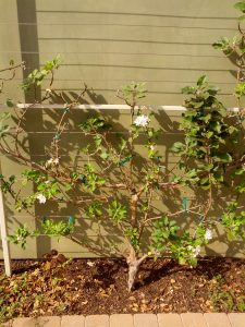 apple tree trained in espalier form