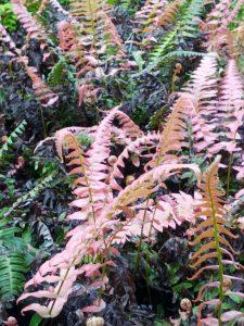 autumn fern (Dryopteris erythrosora 'Brilliance')
