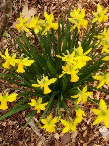 daffodil (Narcissus 'February Gold')