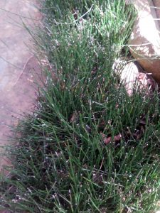 dwarf horsetail (Equisetum scirpoides)