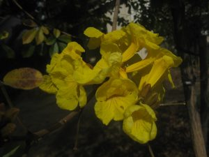 golden trumpet tree (Tabebuia chrysotricha)
