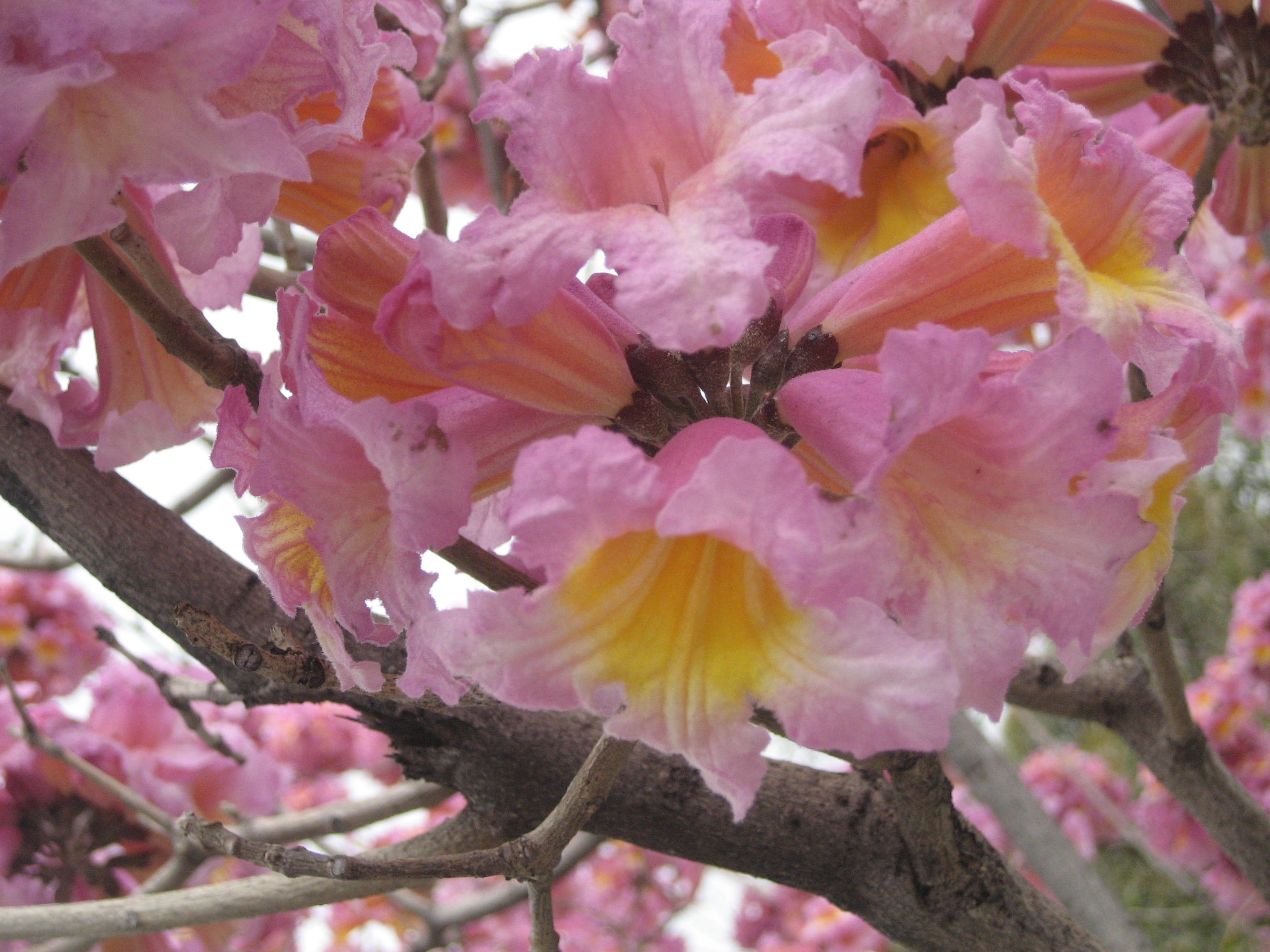 Trumpet trees flowering quinces the smarter gardener pink trumpet tree tabebuia impetiginosa mightylinksfo