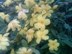 popcorn or primrose jasmine (Jasminum mesnyi)