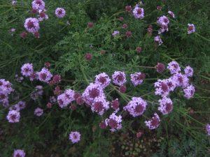 giant purpletop (Verbena bonariensis)