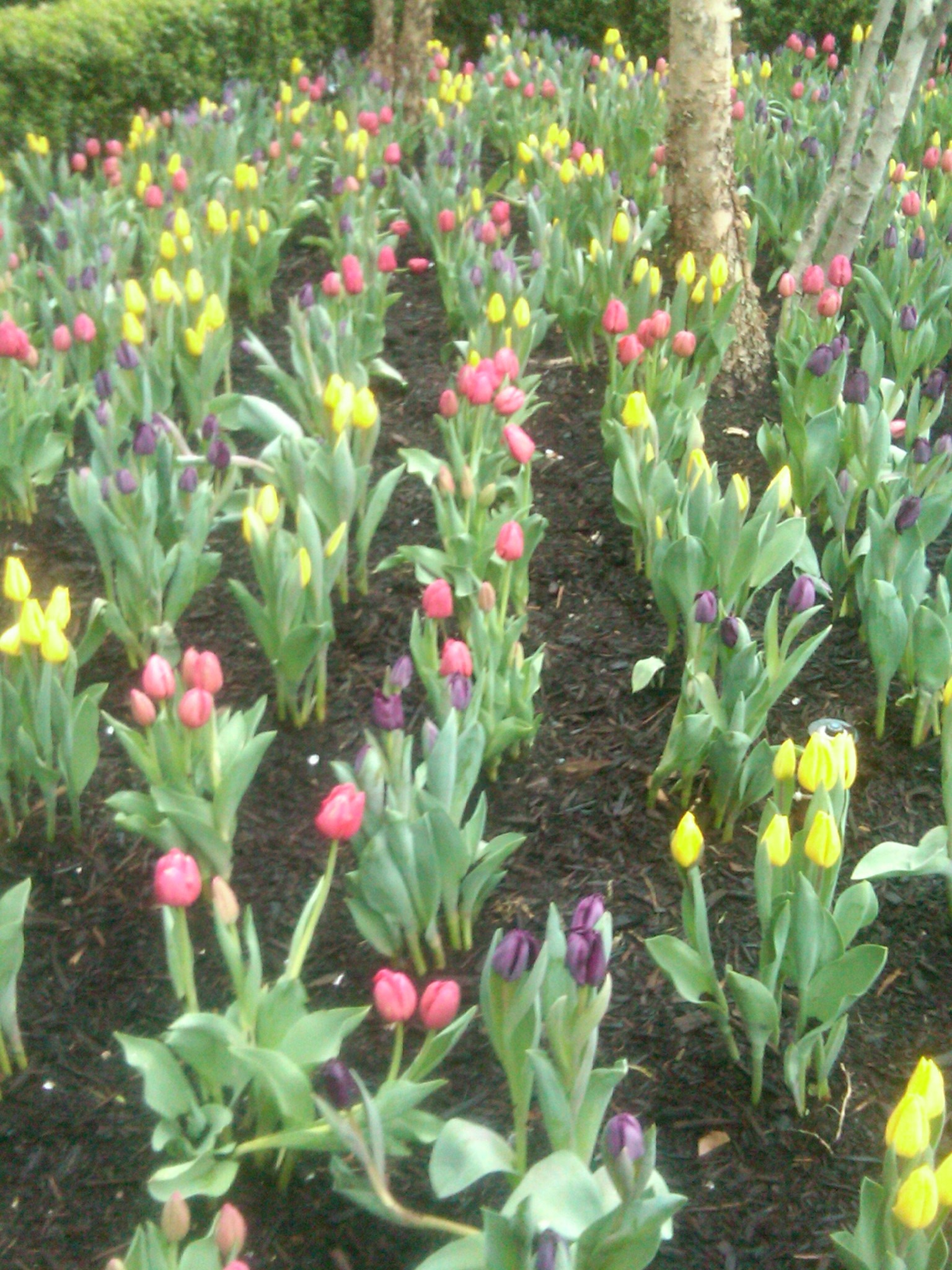 Hardest Flower To Grow Tulip Magnolias Amp Dutch Tulips The Smarter Gardener