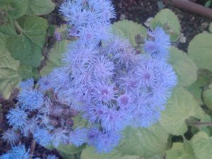 floss flower (Ageratum houstonianum)