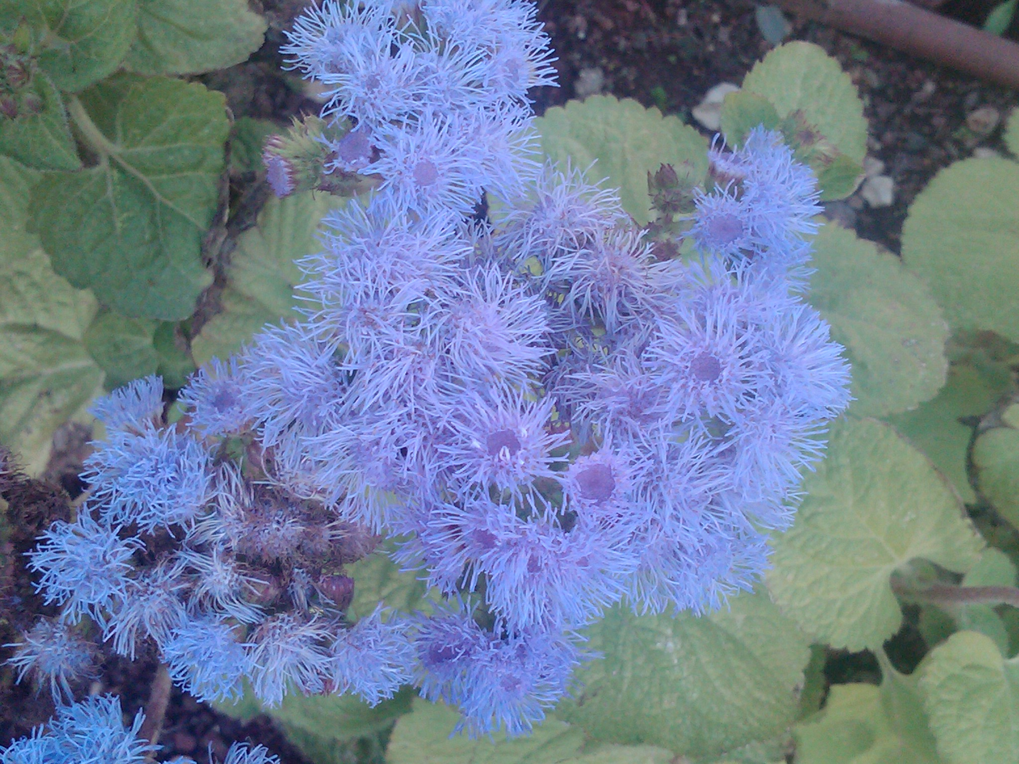10 Outstanding Plants With Blue Mauve Flowers The
