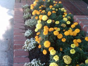 African marigold and sweet alyssum are annuals that self-sow in the garden