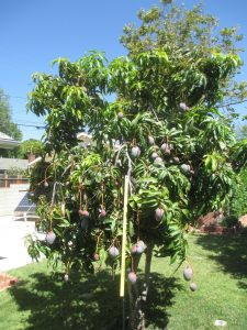 Richard Mueller's mango tree