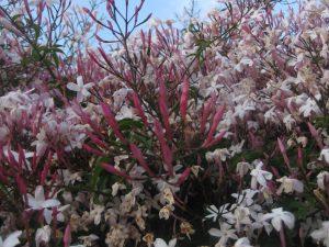 pink jasmine (Jasminum polyanthum)