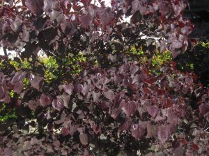 eastern redbud (Cercis canadensis 'Forest Pansy')