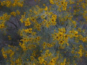 feathery cassia (Senna artemisioides)
