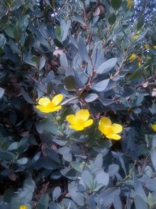 island bush poppy (Dendromecon harfordii)
