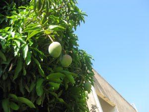 mango (Mangifera indica)