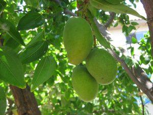 mango fruit (Mangifera indica)