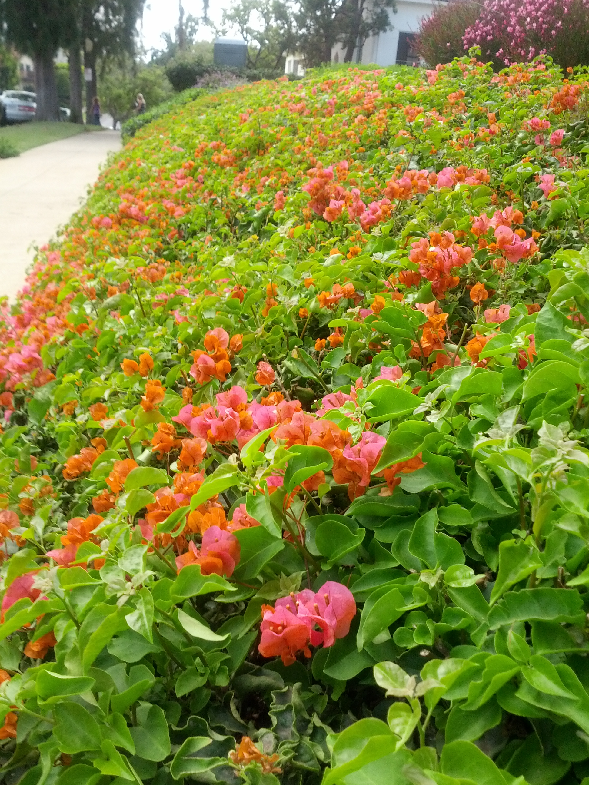 Bougainvillea: a Love-Hate Relationship – The Smarter Gardener
