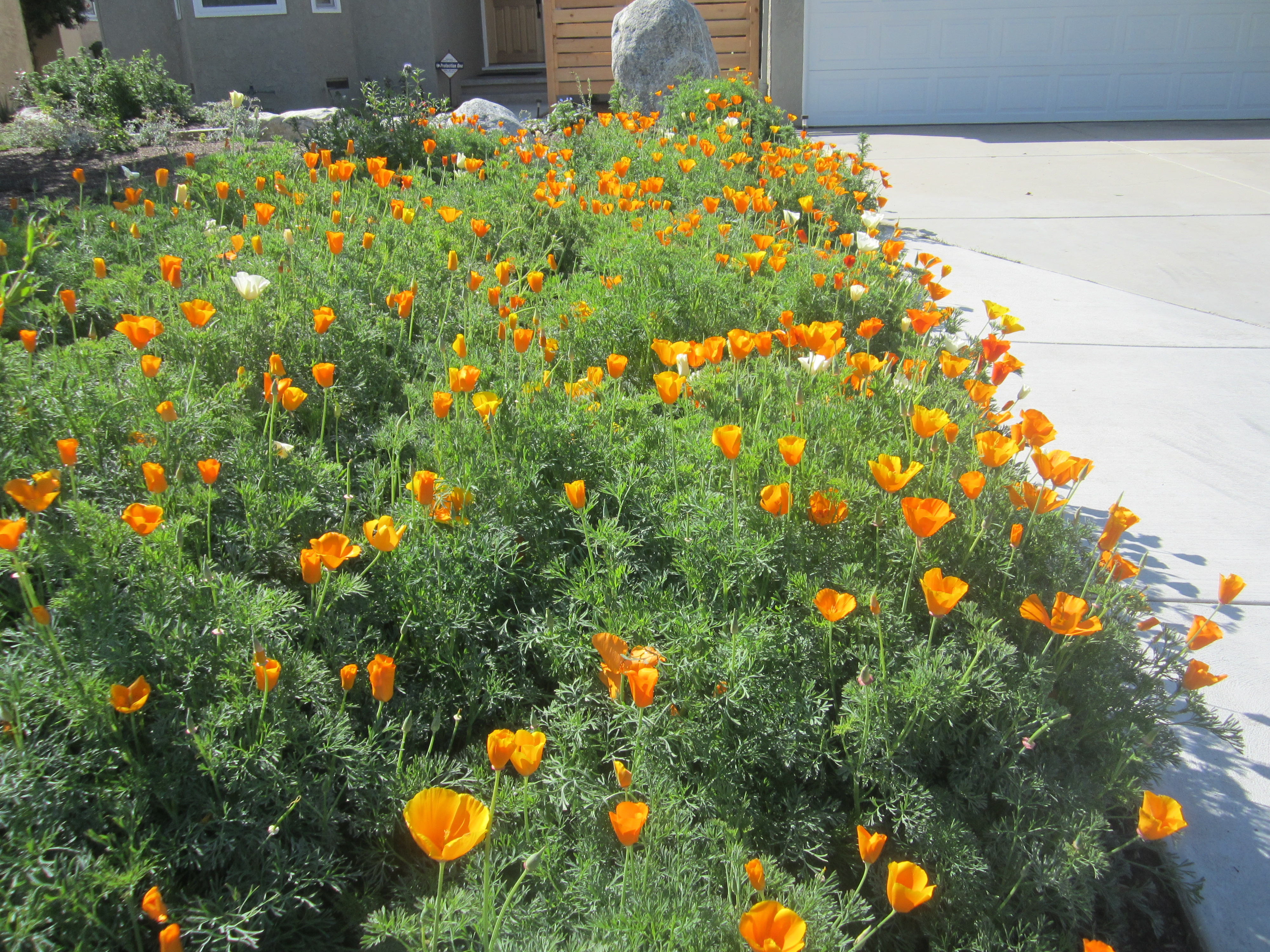 California-poppy-Eschscholzia-californica Large Colored House Plant Leaves on house plants dark green, trees large leaves, house plants sticks, garden plants large leaves, house plants vines, house plants pink, house plants small, tropical plants large leaves, house plants flowers, house plants tall plants,