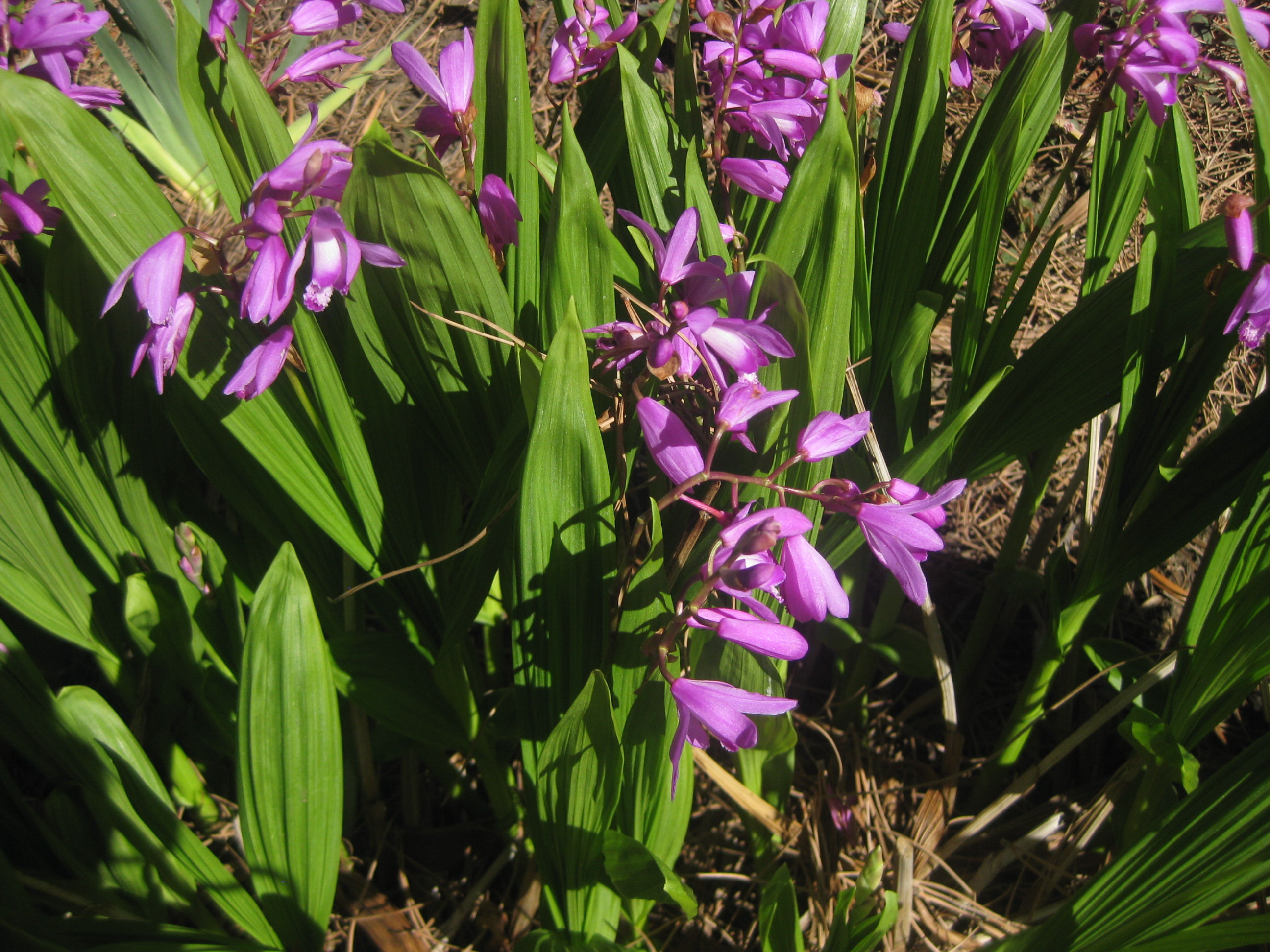 Picture of Live Chinese Ground Orchid aka Bletilla striata 'Big Bob' Plant Fit 1 Gallon Pot