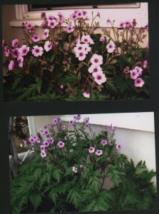 Geranium maderense (photos by Virginia Snow)