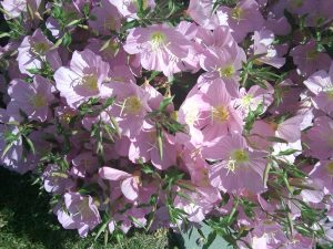 Mexican evening primrose (Oenothera berlandieri)