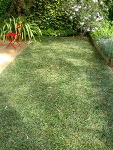 Mondo grass (Ophiopogon japonicus) lawn