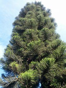 Norfolk Island pine (Araucaria araucana)