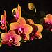 Phalaenopsis Sogo Lawrence 'F1982' (photo by Alred Hockemaier)