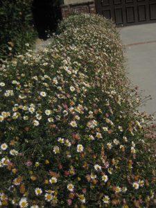 Santa Barbara daisy (Erigeron karvinskianus)
